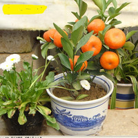 free ship 10 seeds Balcony Patio Potted Fruit Trees Planted Seeds Kumquat Seeds Orange Seeds Tangerine Citrus
