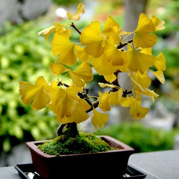 5 Yellow Gingko Biloba Seeds Heirloom Organic Maidenhair Fossil Ancient Tree Primitive Conifer Container Gardening Leaves Garden Home Plant