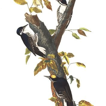 Plate 132: Three-toed Woodpecker