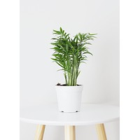 LIVE Bella Palm Indoor House Plant - Ships Alone