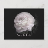 Save the Date 95th Birthday Party Pale Pink Rose Announcement Postcard