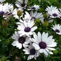 Heirloom 120 Seeds Osteospermum African Daisy Sky and Ice O Ecklonis White Purple Eye Flower Bulk B1105