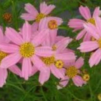 American Dream Coreopsis ( pink tickseed )