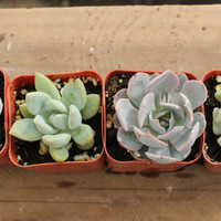 "4 Sample 2"" Succulent plants Collection plastic pots succulents great for gifts & WEDDING FAVORS"