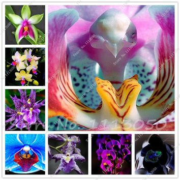 100 PCS Cymbidium Seed,Rainbow Chinese Cymbidium Orchid Flower Seeds,Potted Plant,Indoor Bonsai Flower Seeds Cicada Orchid Seeds