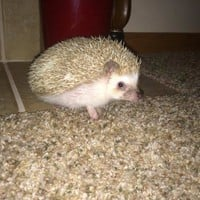Petfinder Adoptable | Hedgehog | Hedgehog | Jenison, MI | Milo