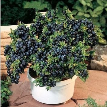 A Pack 200 Pcs Blueberry Tree Seed Fruit Blueberry Seed Potted Bonsai Tree Seeds