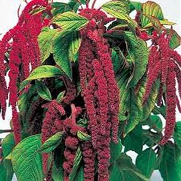 LOVE LIES BLEEDING 100+ SEEDS ORGANIC SHOWER OF RED BLOOMS