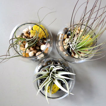 Trio of Bubble Terrariums complete with Harrisii, Butzii, and Juncea Air Plants