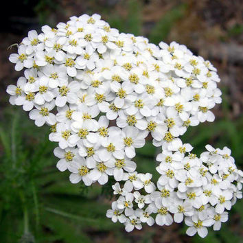 White Yarrow Herb Heirloom Seeds - Non-GMO, Open Pollinated, Untreated