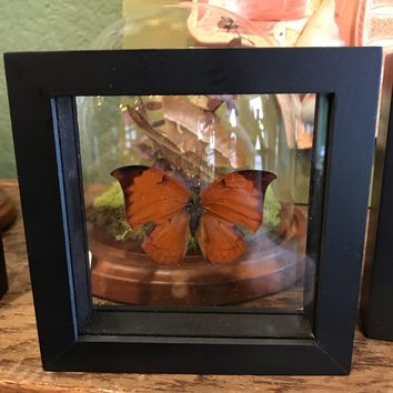 Framed Anaea Butterfly
