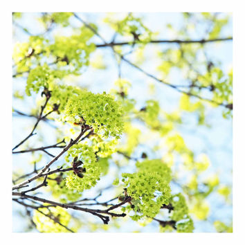 Fresh Spring Green Apple Green Buds on Sky Blue - FREE US SHIPPING Fine Art Photo - Square For Her