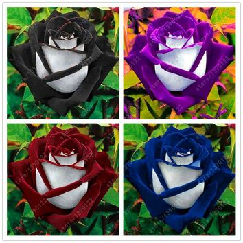 200 pcs/bag rose seeds, Black Rose with White Red Edge, bonsai flower seeds beautiful rose petals plant pot for home garden