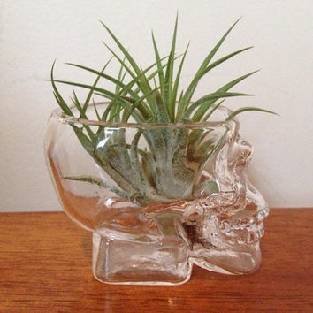 Small Glass Skull with Air Plant by 3GreenGals on Etsy