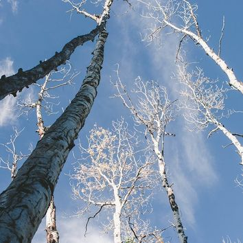 Aspen Trees and Sky, Forest Wall Art Print - Many Sizes