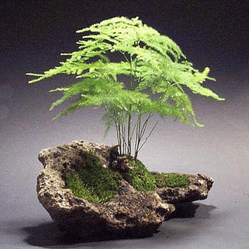 6 Asparagus Fern Seeds | Asparagus Setaceus Small Bamboo Bonsai Setose Plants DIY Mini Gardening Decor
