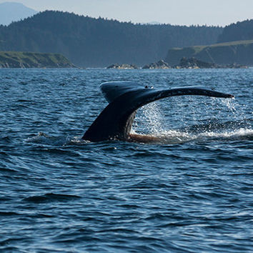 Scenic Photo Of Humpback Whale Tail,  Humpback Whale Art, Scenic Photography, Wildlife Photo, Whale Wall Decor, Whale Wall Art, 4x6-24x36
