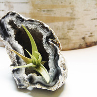 Live Air Plant Tillandsia Blue Geode - Crystal Cave Garden - Terrarium - Science and Geology Gift