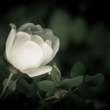 White Flower Of A Dogrose Greeting Card