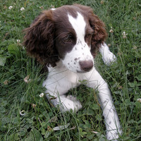 SALE  English Springer Spaniel Puppy 8 X by BeneathNorthernSkies