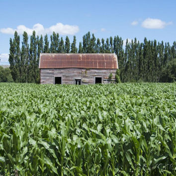Rustic cottage in cornfield PRINTABLE photo, wooden barn, shed wall art print, green foliage, New zealand scenery