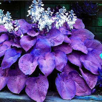 1bag=100pcs Hosta Seeds Perennials Plantain Lily Flower White Lace Home Garden Ground Cover Plant