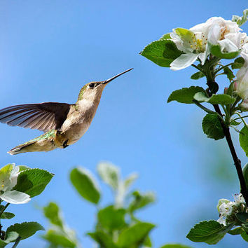 Hummingbird in Flight, Hummingbird Print, Photo Print, Hummingbird Photography, Bird Art