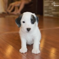 Buy a Westie Jack puppy , from Dreamy Puppy available only at DreamyPuppy.com Place a $200.00 deposit online!