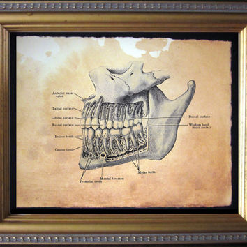 Teeth Diagram Skeleton Art Print - Vintage Anatomy Art Print- Vintage Art Print on Tea Stained Paper