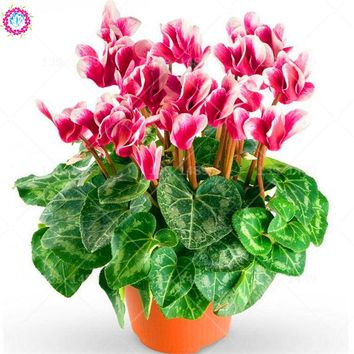 100pcs Cyclamen seeds beautiful indoor flower seeds perennial bonsai plant for DIY home garden planting 2018 NEW ARRIVAL