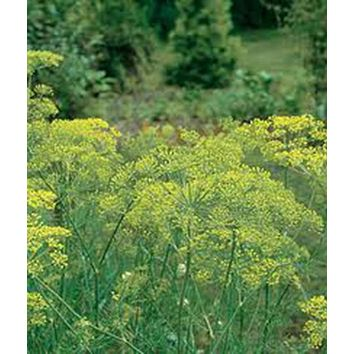 DILL, MAMMOTH LONG ISLAND, HEIRLOOM, ORGANICLY GROWN 25+ SEEDS