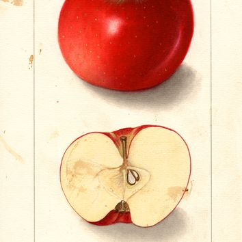 Apples, Brooke Blushed (1909)