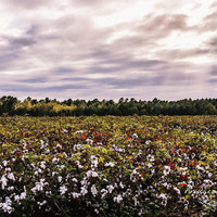 Cotton Field 23 by Andrea Anderegg Photography
