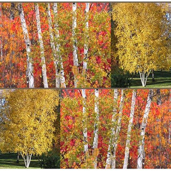 The Dirty Gardener Betula Papyrifera Paper Birch Trees - 250 Seeds