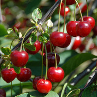 Heirloom 25 Seeds Cherry Tree Shrub Seeds cherry-tree Edible Fruit Seeds T007