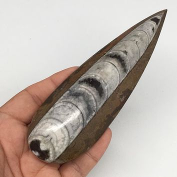 "139.5g, 5.6""x1.8""x0.8"" Fossils Orthoceras (straight horn) SQUID @Morocco,MF2519"