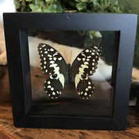 Double Glass Papilio Butterfly