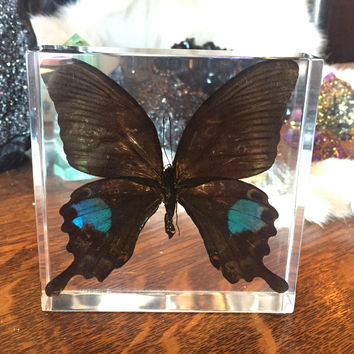 Paris Peacock Swallowtail Butterfly Paperweight