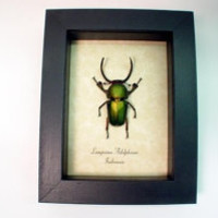 Real Framed Bright Green Sawtooth Beetle Lamprima Adolphinae 2155BG