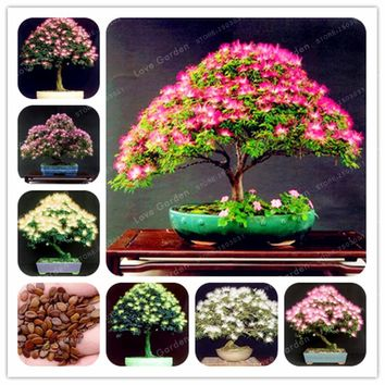 20 seeds/bag Rainbow Albizia Julibrissin Acacia Tree Seeds Bonsai Beautiful Flower Seeds Tree Seeds Pot Plants for Home Garden