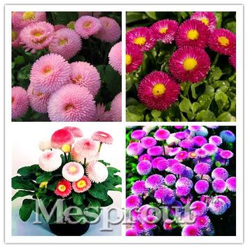 Promotion!African Blue Eyed Daisy Seeds Osteospermum seeds Cape Mix Flower Heirloom 50PCS family potted plants DIY home & garden