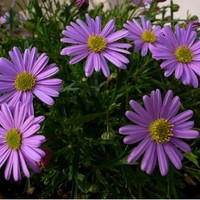 Heirloom 1000 Seeds Brachycome Iberidifolia Swan River Daisy Purple Blue Flower Seed B1020