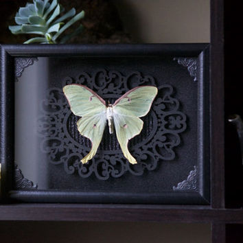 Luna Moth - Museum Glass Shadow Frame Display - Insect Bug Oddity Curiosity Art