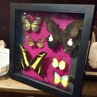 6 Butterfly Collection