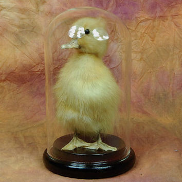 taxidermy of duckling mounted with glass dome, Gift