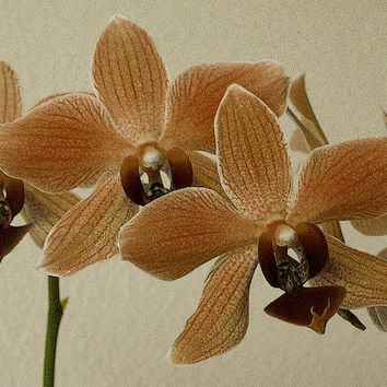 Sofia Orchid by Ben and Raisa Gertsberg