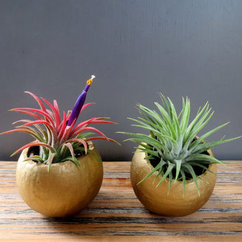 Gold Holiday Tillandsia Air Plant Duo: Two Unique Air Plants in Natural Gold Shimmer Containers / Holiday Gift Idea!