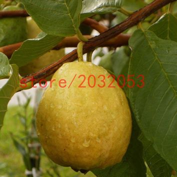 pear seeds 20 Florida Tropical White/Yellow Pear Guava Fruit Tree   perennial flower pots planters