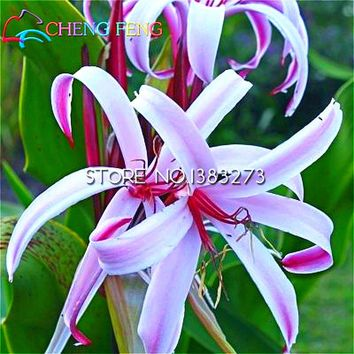 2016 New Arrival Rare Orchid Seeds 21 Pieces a Bag crinum Flower Potted Plants sementes home garden Semillas De Flores seed gift