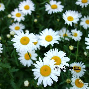 Flower Grass Of Daisy Seeds White Balconies Garden Potted Perennials Plants 30 Seeds